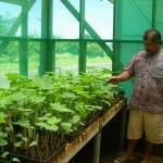 Taro germplasm test in Samoa