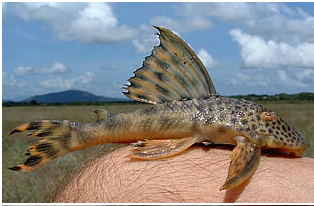 Peckoltia sabajiwas one of the new fishes, initially identified during a scientific survey of the Rupununi