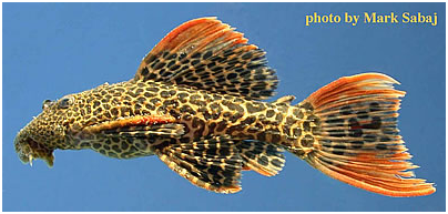 """Pseudacanthicus leopardusadult – Pseudacanthicus leopardus, known locally as """"red tail"""" is much in demand."""